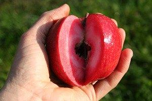 Lubera Easytree: Apfel Redlove® Odysso®