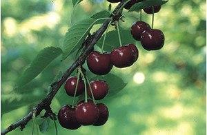 Lubera Easytree: Süsskirsche Kordia