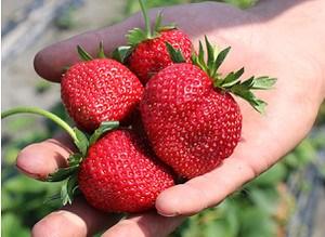 Lubera Erdbeere Frutium® Bonneure® 6er Träger