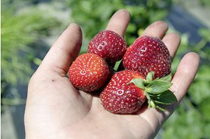 Lubera Erdbeere Parfum Freejumper®