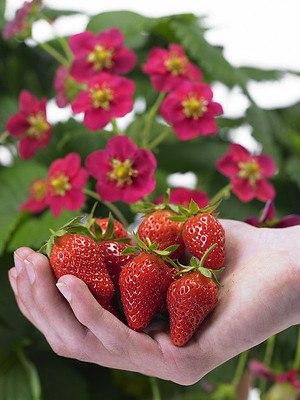 Lubera Erdbeere SchweizerRot®
