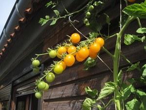 Lubera Freilandtomate 'Sunviva' (Saatgut), Saatguttütchen mit 12 Korn