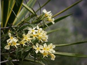 Lubera Gelber Oleander, mediterrane Kübelpflanze im 10l-Topf