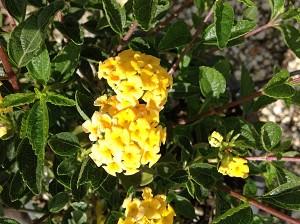 Lubera Gelbes Wandelröschen, Dekorative Kübelpflanze im 3l-Topf