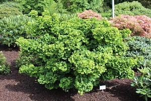 Lubera Ginkgobaum 'Mariken', KräftigePflanze im 3,5 l-Dekotopf, 20-25 cm