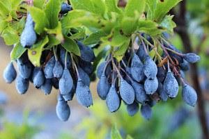 Lubera Heidelbeere Blautropf®