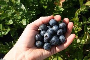 Lubera Heidelbeere Brigitta Blue