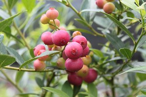Lubera Heidelbeere Pinkbeere® Pink Lemonade®
