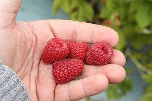 Lubera Himbeere Primeberry® Autumn Belle®