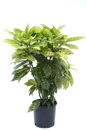 Lubera Japanische Akube, immergrüne Kübelpflanze im 5l-Topf