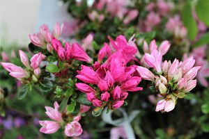 Lubera Japanische Azalee 'Kermesina Rosé', Pflanze im 2 l-Topf, 15-20 cm