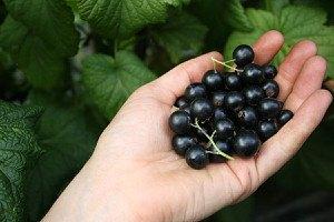 Lubera Johannisbeere Lowberry® LittleBlack Sugar