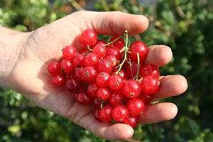 Lubera Johannisbeeren Ribest® Babette®, 2 Pflanzen