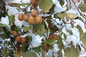 Lubera Kiwi Solissimo® Renact® (selbstfruchtbar)