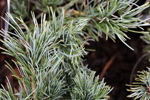 Lubera Kompakte Blaue Mädchenkiefer, Pflanze im 2 l-Topf, 20-25 cm