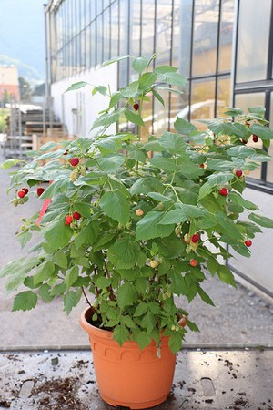 Lubera Lowberry® Himbeere Little Red Princess®