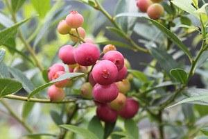 Lubera Luberissima Heidelbeere Pinkbeere® Pink Lemonade®