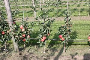 Lubera Mini-Apfelbäumchen Maloni® Sally®
