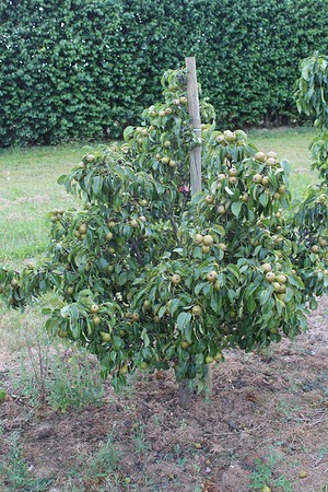 Lubera Mini-Birnbaum Pironi® Joy of Kent