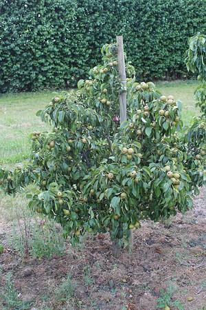 Lubera Mini-Birnbaum Pironi® Joy of Kent