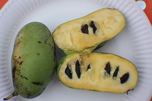 Lubera Pawpaw Sunflower