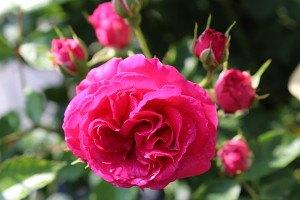 Lubera Rose Elmshorn (im großen Container)