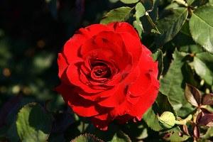 Lubera Rose Ernest H Morse, Stämmchen im 10l-Topf