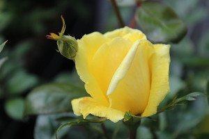 Lubera Rose Golden Showers