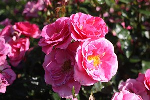Lubera Rose Roseasy® Aramis (im grossen Container)