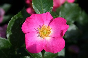 Lubera Rose Roseasy® Athos (im grossen Container)