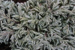 Lubera Scheinzypresse, Zwerg-Silberzypresse, Pflanze im 2l-Topf