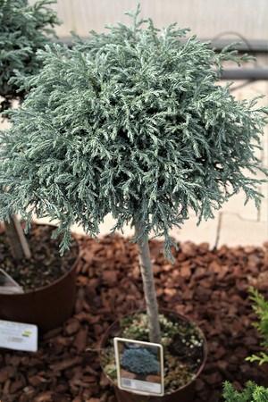 Lubera Scheinzypresse, Zwerg-Silberzypresse - Zwergstamm, Pflanze im 3l-Topf