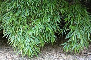 Lubera Schirmbambus, Starke Pflanze im 5l Topf