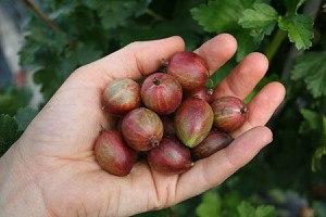 Lubera Stachelbeere Captivator (dornenlos)