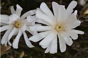 Lubera Stern-Magnolie, Kräftige Pflanze im 5 l-Topf, 40-60 cm