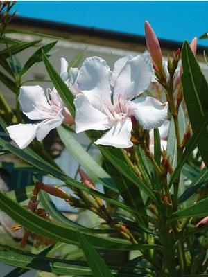 Lubera Weißer Oleander, mediterrane Kübelpflanze im 10l-Topf