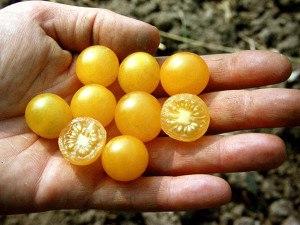 Lubera Wildtomate 'Golden Currant' (Saatgut), Saatguttütchen mit 15 Korn