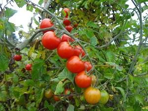 Lubera Wildtomate 'Rote Murmel' (Saatgut), Saatguttütchen mit 15 Korn