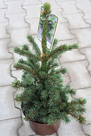 Lubera Zapfenfichte 'Lucky Strike', Kräftige Pflanze im 3 l-Topf, 20-25 cm