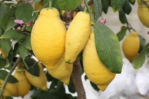 Lubera Zitrone Vierjahreszeiten 'Lunario'