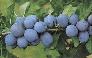 Lubera Zwetschge Cacacs Schönste (selbstfruchtbar)