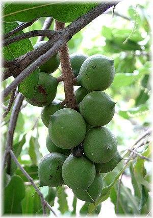 Macadamia-Nuss Macadamia integrifolia