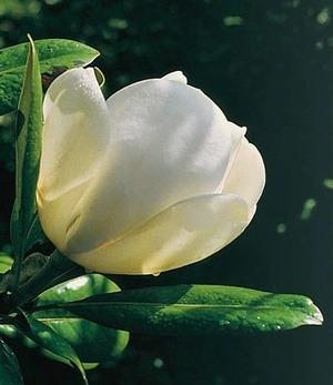 "Magnolie ""Jade Lamp"",1 Pflanze"