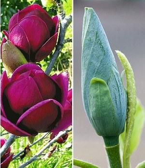 Magnolien-Sortiment zum Vorteilspreis,2 Pflanzen