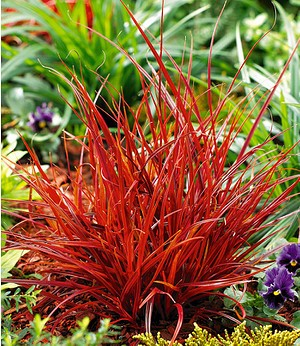 "Mahagonigras ""Firedance"",2 Pflanzen"