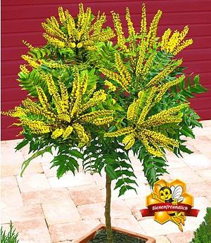 Mahonien-Stämmchen,1 Pflanze