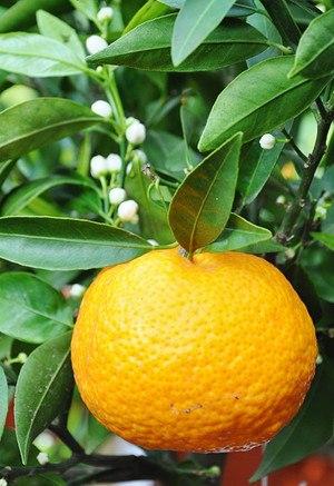 Mandarinenbaum - Citrus reticulata