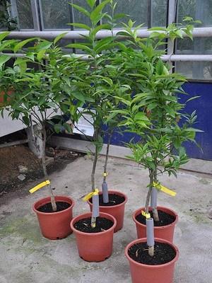 Mandarinenbaum (Esbal) - Citrus clementino