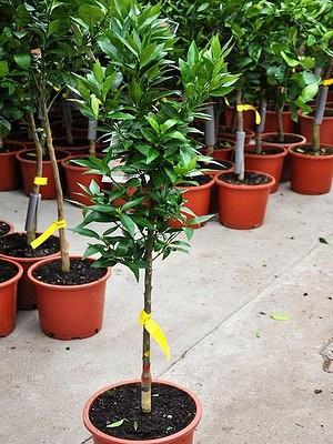 Mandarinenbaum (Marisol) - Citrus clementino Marisol