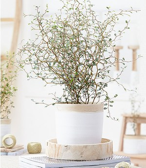"Maori® Sophora Cotoneaster ""Little Baby"",1 Pflanze"